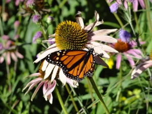 One of the few monarch buttlerflies in 2013