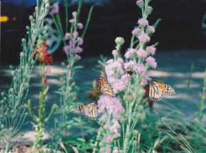 Monarchs love liatitis (blazing star)