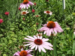Cone flowers: Easy to grow, and loved by bees!