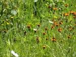 Hawkweed and Daisies