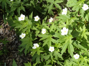 The native Canada Anemone is blooming now!