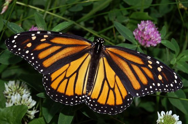 Our elegant monarch butterfly needs some help!