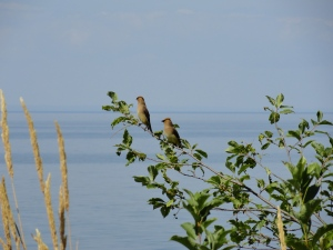 Even Cedar Wax Wings Enjoy the View