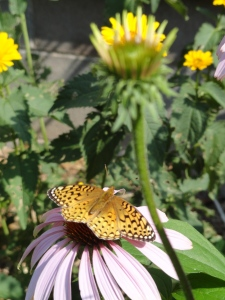 Fritillary on a cone flower