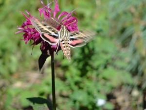 Hummingbird Moth on Menardia