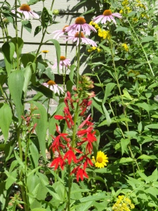 Rich cardinal flower is loved by hummingbirds