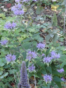 Bees love bee balm and Anise Hysopp