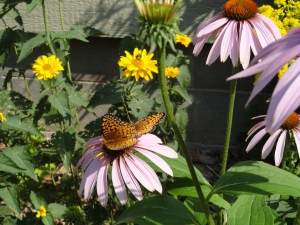Purple cone flowers appeal to birds, bees and butterflies