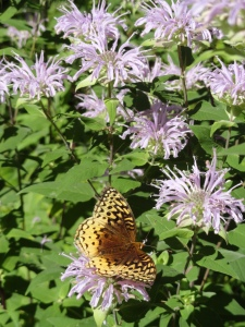 Fritillary on bee balm