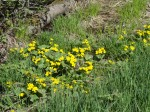 Marsh Marigolds are blooming
