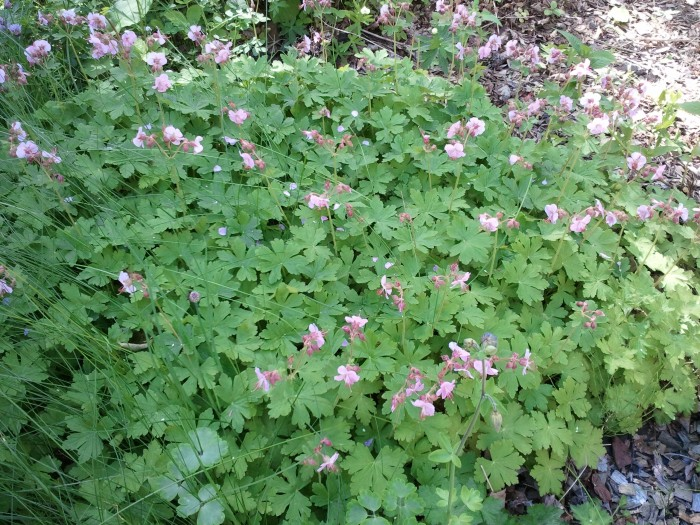 The hummingbirds and bees love wild geraniums