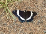 White admiral like to sit on the road