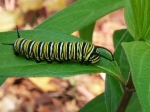 Monarch eggs hatch into caterpillars