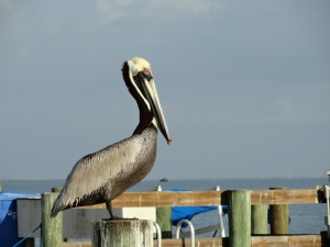 A wise pelican near the Everglades