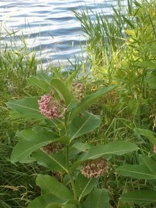 Buffer strips with milkweed