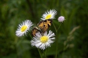 Nothern-Cresent in Daisy Fleabane
