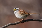 White-throated -sparrow