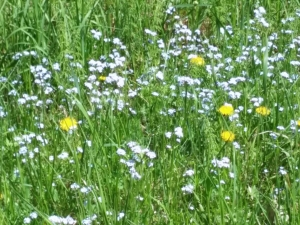 dandelions in the forget-me-not flowers