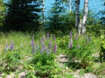 Lupine on Lake Superior