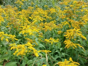 Bees love golden rod and it is everywhere.
