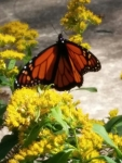 Plant for the monarch butterfly