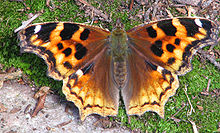 Yesterday, we saw the first Compton Tortoiseshell of the season
