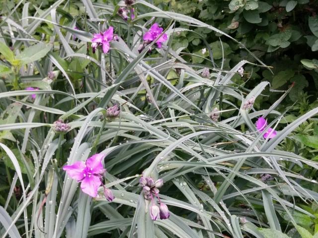 Bees love the spiderwort