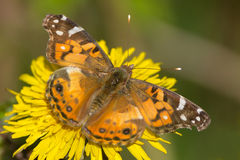 An American painted lady
