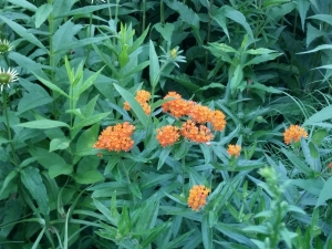 Butterfly Weed is blooming along some interstate highways.