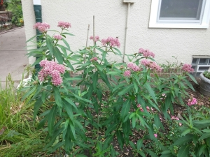swamp milkweed ready for monarch butterflies
