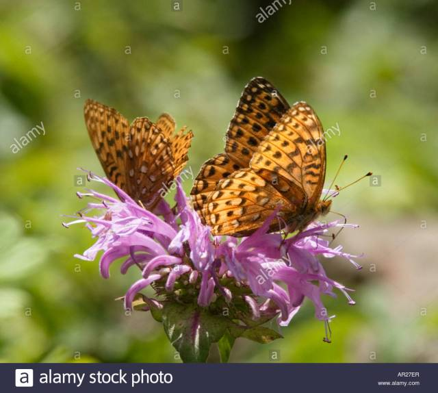 Two Atlantis Fritillary on bee balm