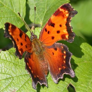 Grey Comma, a dull name for a butterfly  beauty