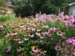 My back yard: Cone flowers, butterfly weed