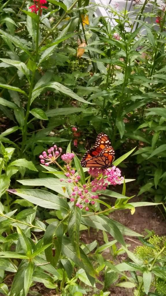 Loving monarch butterflies